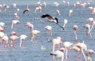 Flamingolar Tuz Gölü'nde
