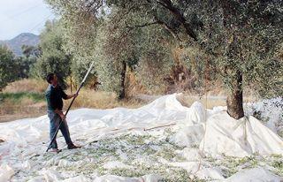 Güzelyurt'ta zeytin ve harup toplama tarihi açıklandı