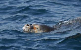 Akdeniz Fokları'nın yaşam alanlarının araştırılması projesine Aksa Enerji destek verecek