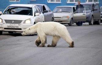 Sibirya'da Aç Kutup Ayısı Şehre İndi
