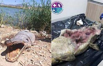 Gönyeli barajında ölü bulunan Timsah balığı ile ilgili nekropsi raporu açıklandı