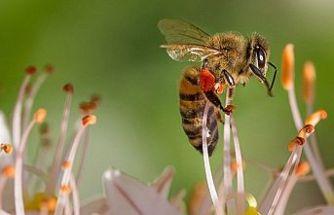 Meme kanserine karşı bal arısı zehri