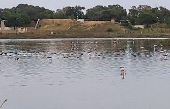 Flamingolar Kıbrıs'a geldi