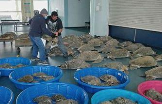 ABD'deki kar fırtınasında şoka giren 4700 kaplumbağa kurtarıldı