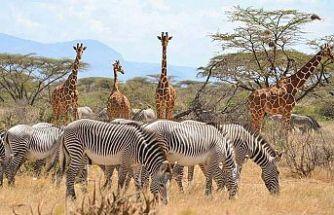 Kenya, doğadaki tüm canlıları sayacak